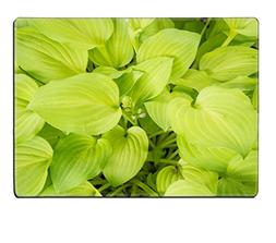 MSD Placemat Image ID 24774303 Plantain Lily Hosta plantagin